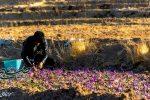 برداشت طلای سرخ در روستای خوسف+تصاویر