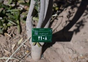 تخصیص محصول بیش از ۴۰۰۰ اصله درخت خرما و زیتون به نیازمندان