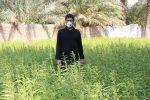 روایت تلاش کشاورز بافقی در کاشت کنجد+تصاویر