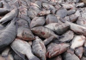 برداشت ۲۴۱ تن ماهی تیلاپیا در بافق/اخذمجوز۷۵۰تن پرورش ماهی تیلاپیا در سال۱۴۰۰